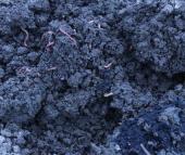 Különböző trágyagiliszta (Eisenia fetida) törzsállományok összehasonlító vizsgálata